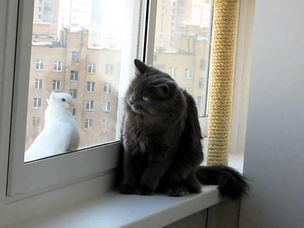 pisica porumbel a