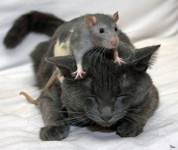 cats and rats pisici soricei