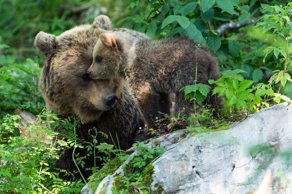 """Documentar Viasat Nature: """"Reîntoarcerea urșilor"""" (luni 17 mai, ora 18:00)"""