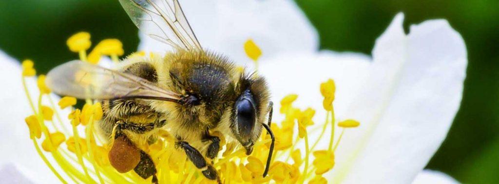 Ziua mondială a albinelor (ONU) (20.05)