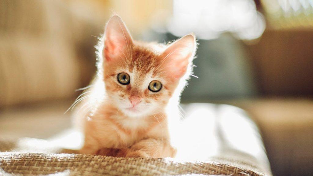 Lungul și obositorul drum al adopției unei pisici