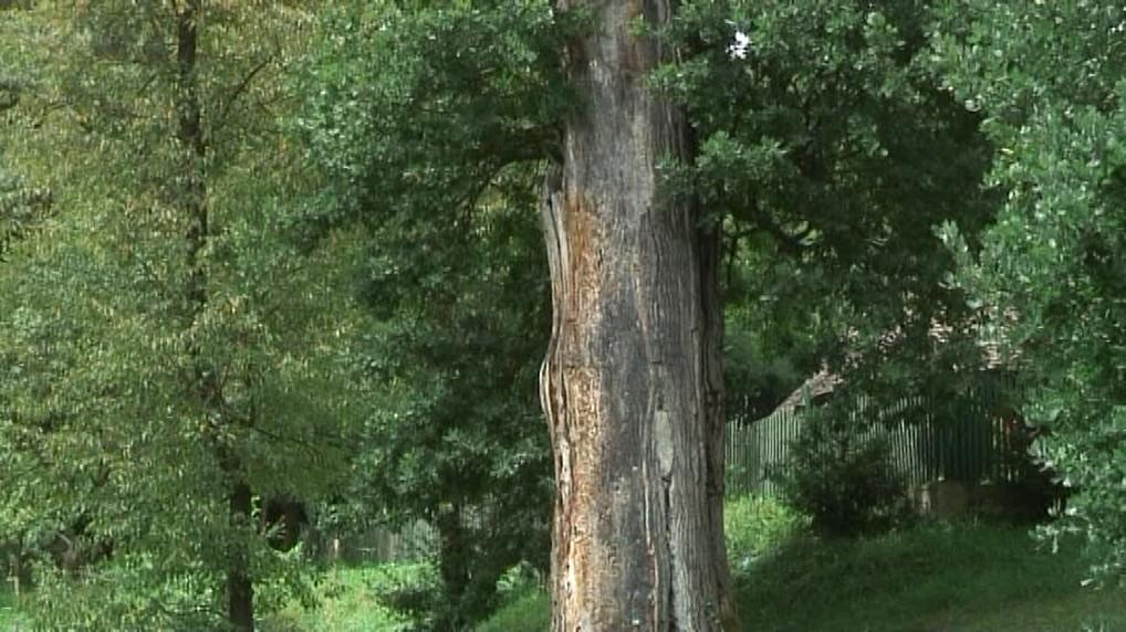 Recorder: Genocidul stejarilor seculari: cum ni se fură ultimele păduri de câmpie