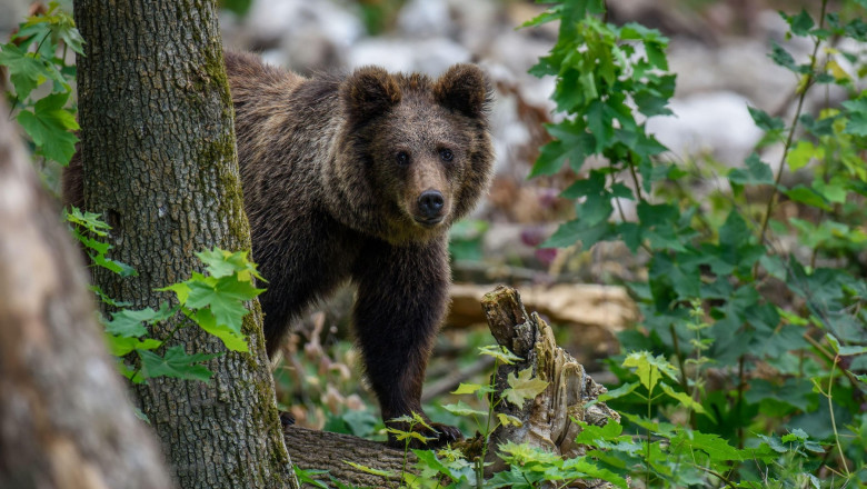Proiectul ambițios al japonezilor menit să ţină departe de orașe urșii periculoși